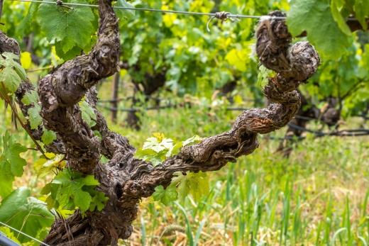 100-year-old-chardonnay-vine-hanzell-vineyards-rick-vyrostko