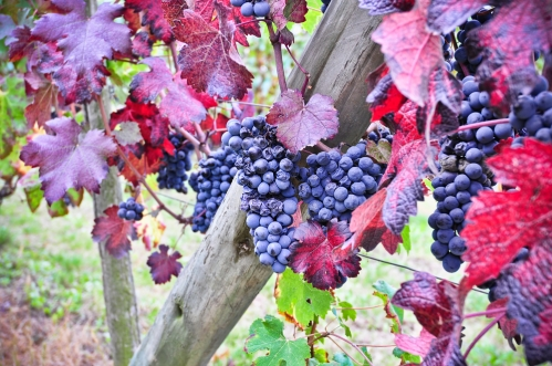 nebbiolo-wine-guide-nebbiolo-grape-charactertistics