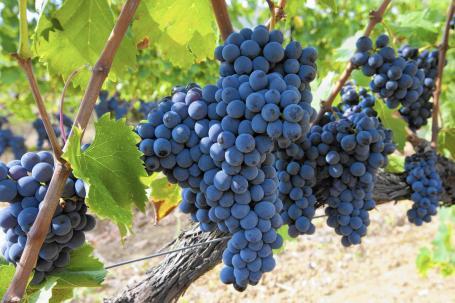 sc-sangiovese-italian-grape-wine-food-0825-20170824