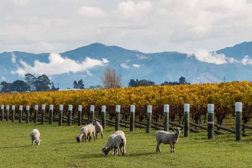 Vineyards-in-Malborough-New-Zealand